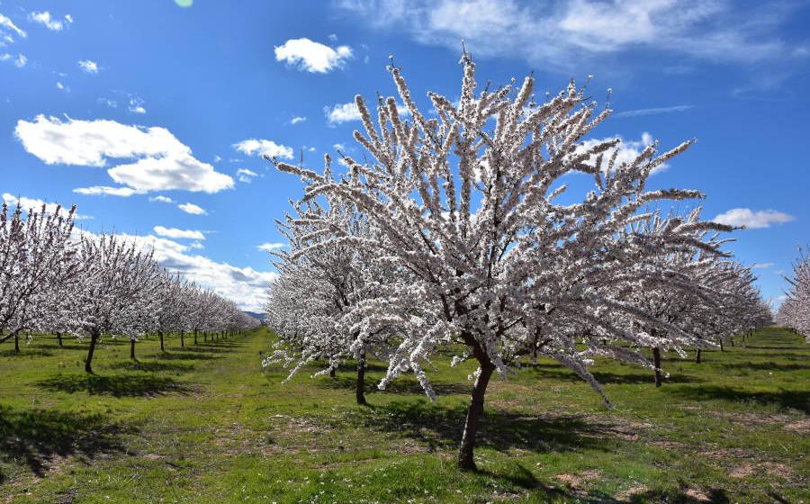 Campo de almendros en flor en La Mancha, de Alpinu Frutos secos