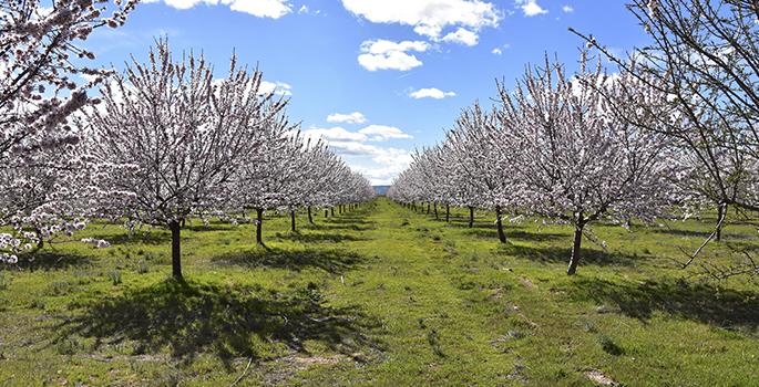 Almendros en flor - Comprar frutos secos Alpinu